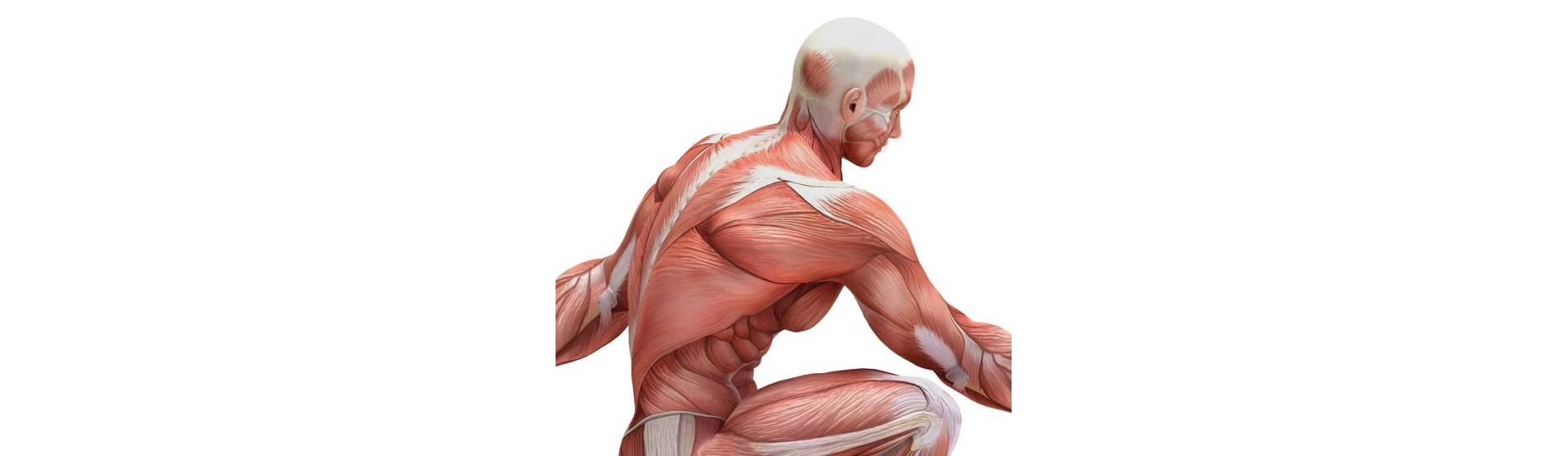 Aumentare la massa muscolare: Tutti i prodotti per sportivi per lo sviluppo della muscolatura.